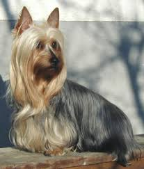 pictures of silky terriers