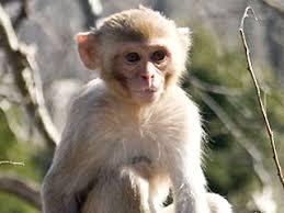monkey rhesus