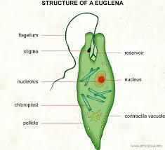 euglena images