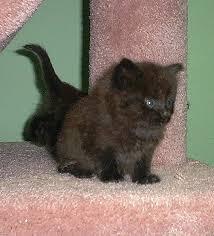 longhaired kittens