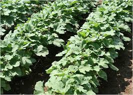 okra planting