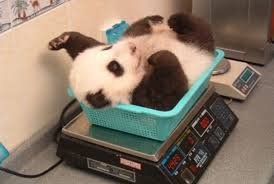 cute pictures of pandas