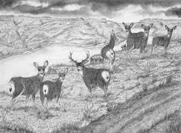 mule deer drawings