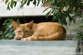 orange cats pictures