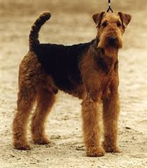airedale terrier dogs