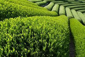 green tea pictures
