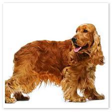 english cocker spaniel dogs