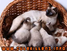 siamese kittens pictures