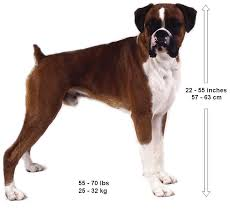 boxer dogs information