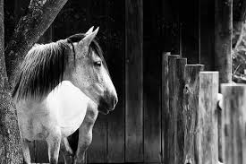 black and white horse photographs