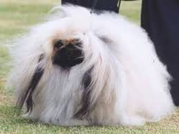 pekingese puppies pictures