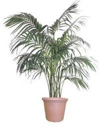 house plant palms