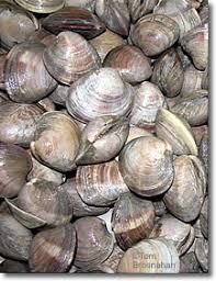 new england clams
