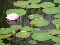 frog lilly pad