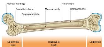 shaft bone