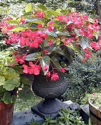 dragon wing begonias