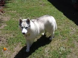 pictures of dog mange