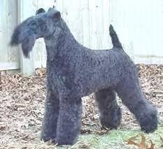 kerry blue terrier breeders