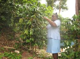 picture of coffee plant