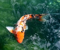 koi carp picture