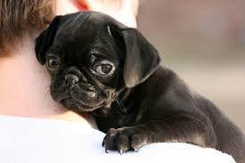 black puggle puppies for sale
