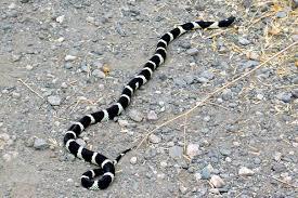 king snake pic