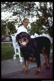 large rottweiler