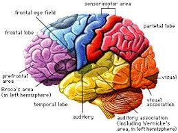 brain lobes diagram