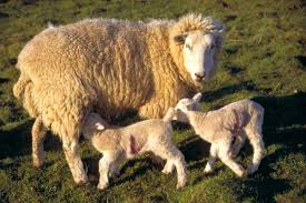 lambs pictures