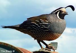 quail photo