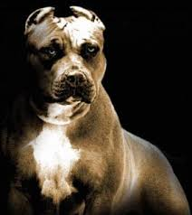 strongest pit bull in the world