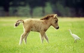 miniature horses pictures
