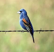 blue grosbeak bird