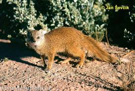 mongoose picture