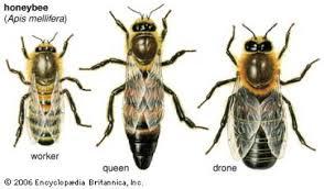 honey bees queen