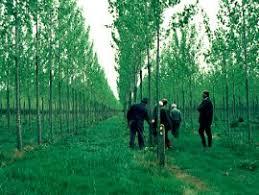 hybrid poplars