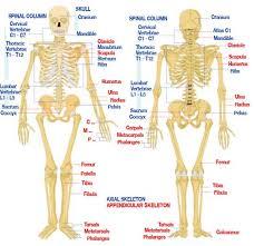 human skeleton rib cage