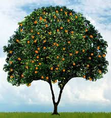 picture of an orange tree