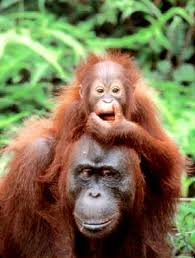 rainforest orangutans