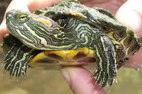 turtle red ear slider