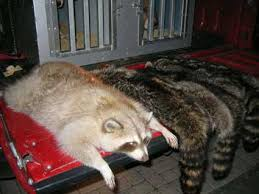 hunting coon
