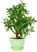 feng shui plant