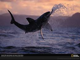 national geographic great white shark