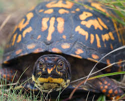 box turtle pictures