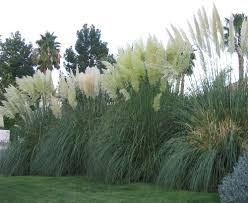 pictures of pampas grass