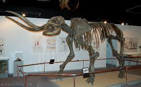 mastodon skeleton