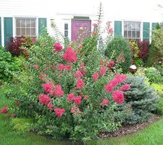 crape myrtle shrub
