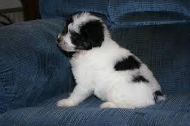 chinese crested powder puff dog
