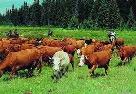 cattle wallpaper