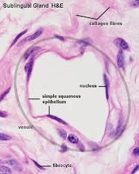 squamous epithelium cells
